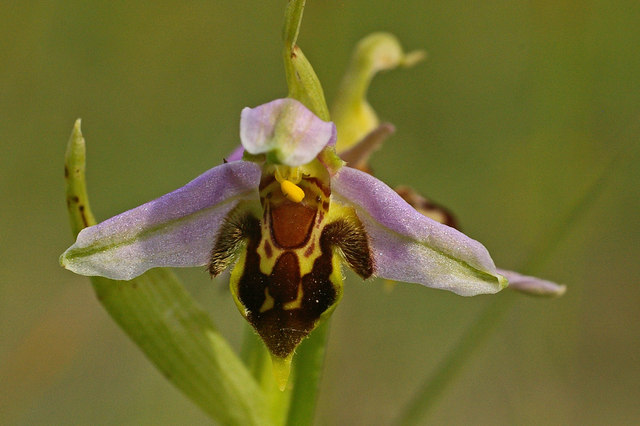 Most Unusual Flowers: Bee Orchid