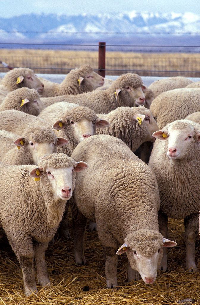 Flock of sheep - Most Intelligent Animals