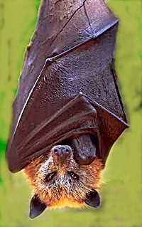 The largest bat in the world - Largest Species