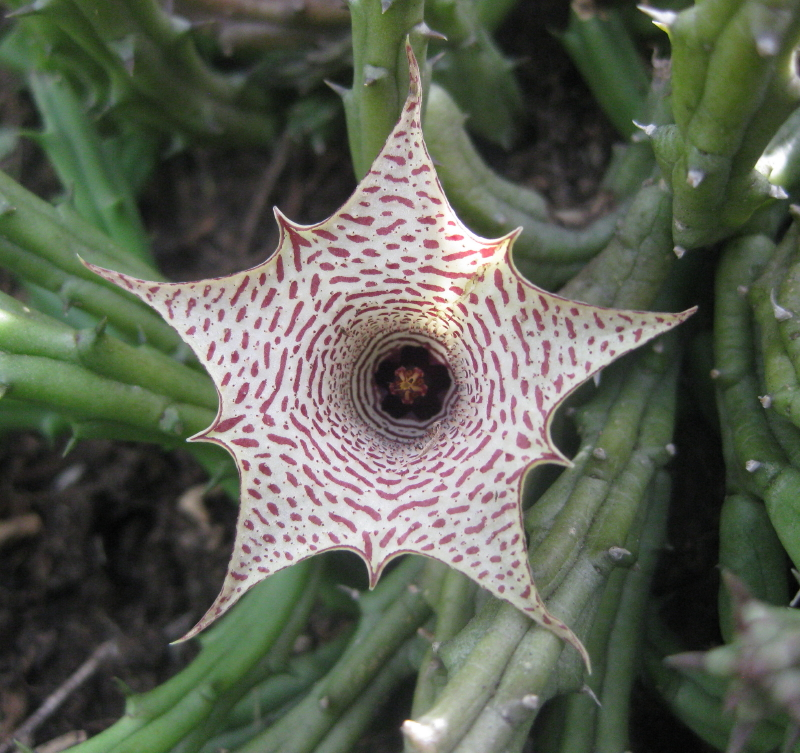 Most Unusual Flowers: Huernia Oculata