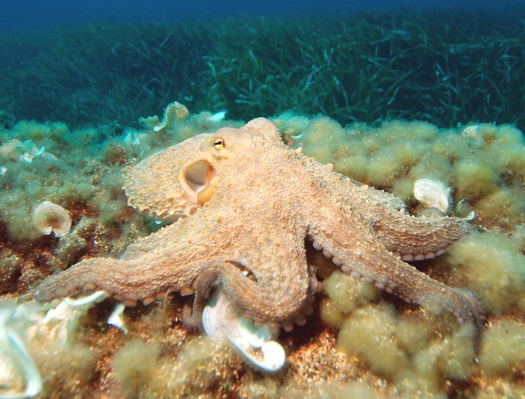 Octopus - os invertebrados mais inteligentes