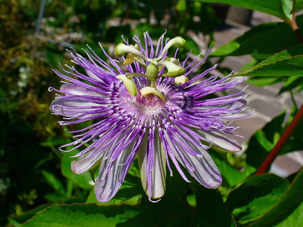 Most Unusual Flowers: Maypop Passionflower