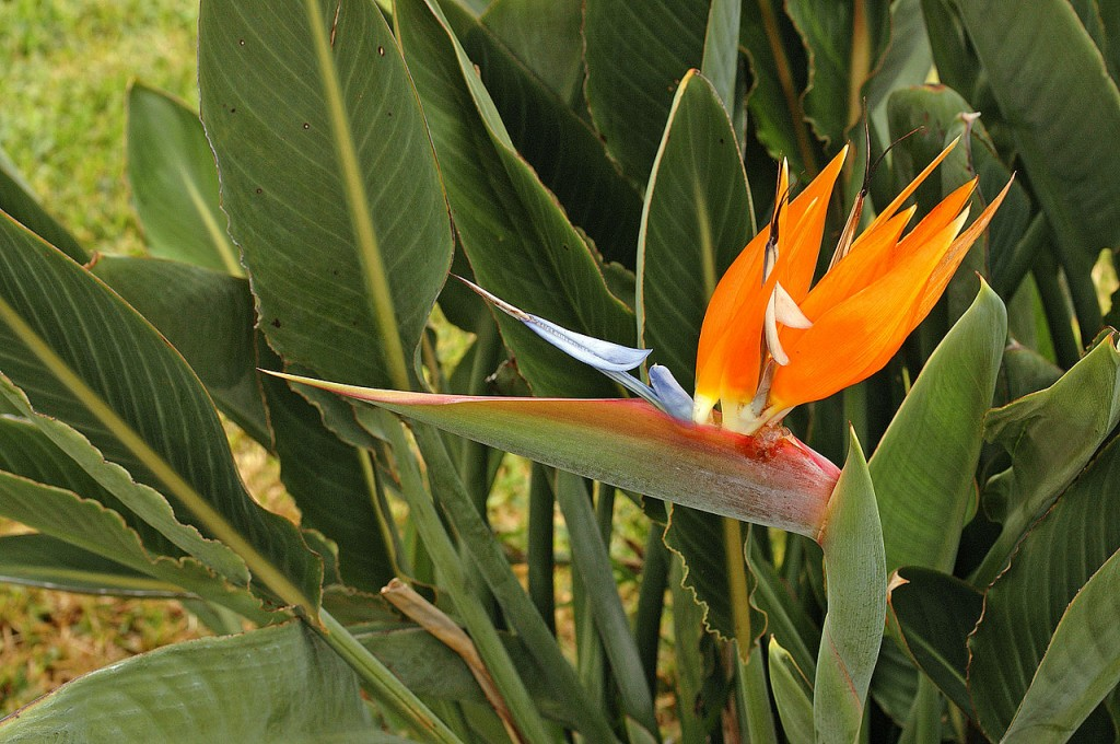 Most Unusual Flowers: Bird of Paradise