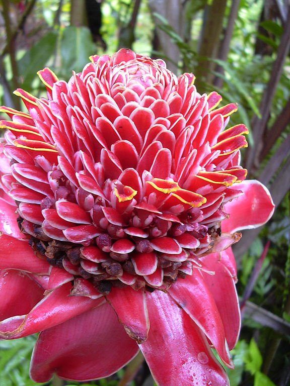Most Unusual Flowers: Torch Ginger