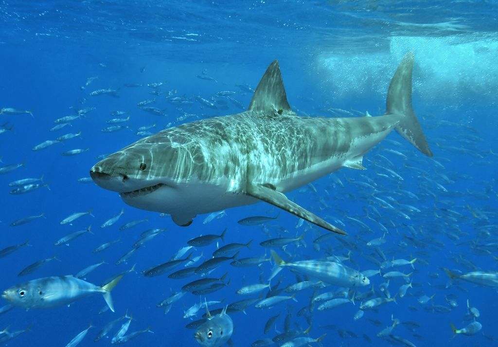 "The Great White Shark - starred in the movie ""Jaws"""