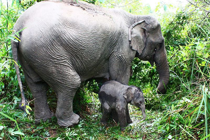 10 Longest Life Span Animals: Asian Elephants