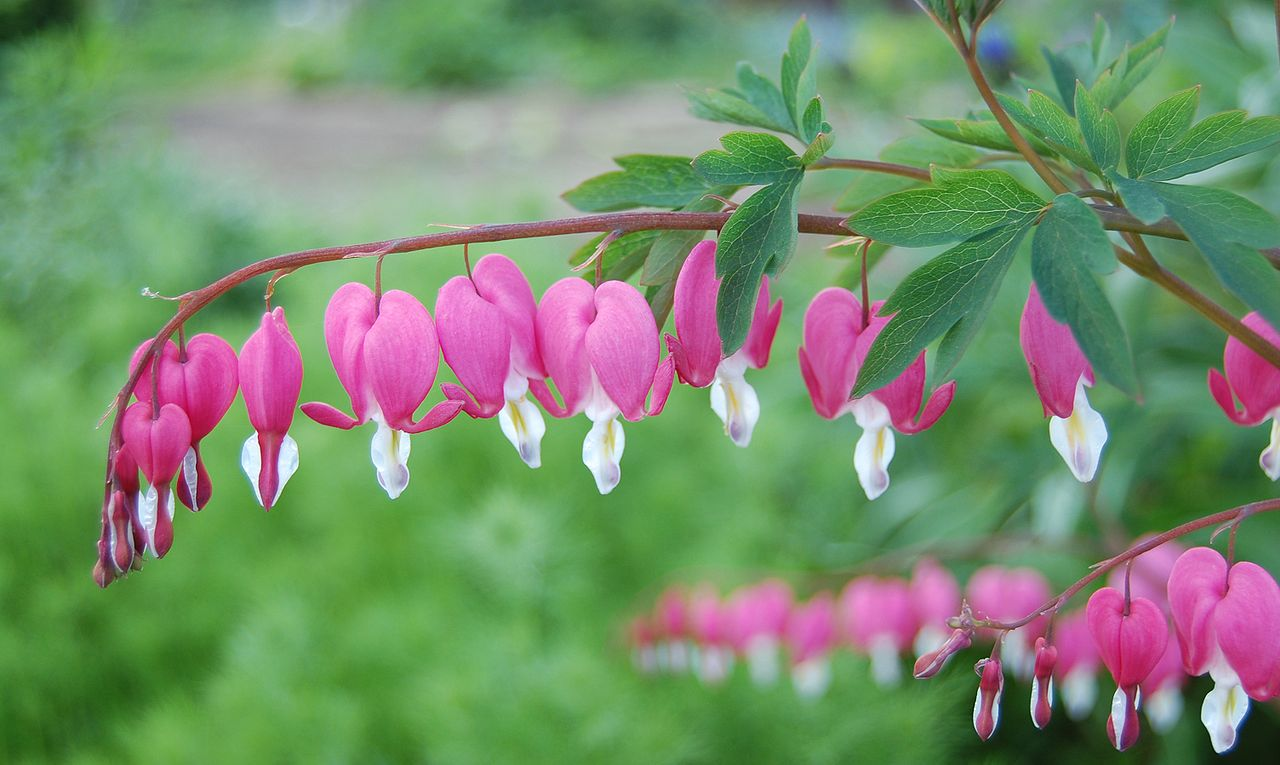 10 most unusual flowers in the world 10 most today most unusual flowersthe bleeding heart flower izmirmasajfo