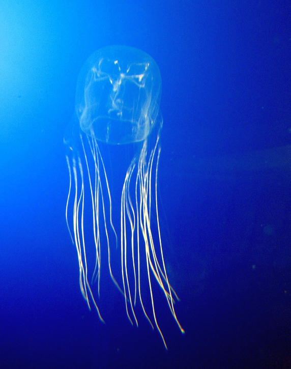 10 Most Dangerous Animals In The World: Box Jellyfish