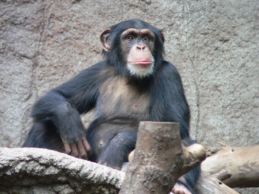 10 animais mais inteligentes no mundo: chimpanzés