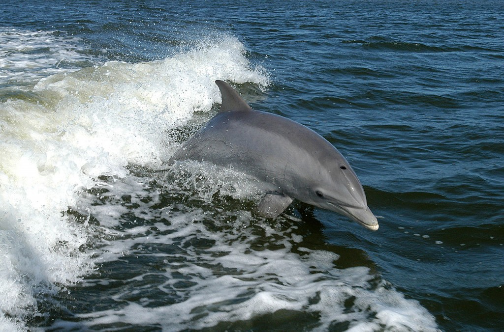 10 Most Intelligent Animals In The World: Dolphins