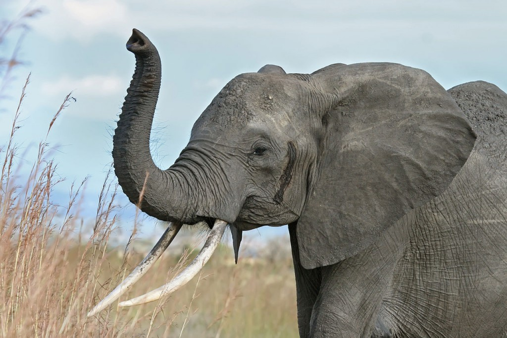 10 Most Dangerous Animals In The World: Elephants