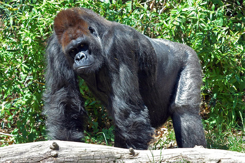 Eastern lowland gorilla - the largest living primate