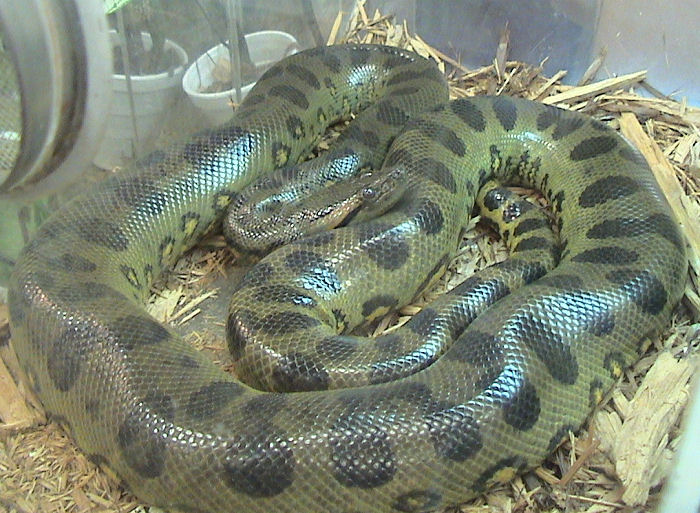 Green anaconda - The heaviest snake in the world