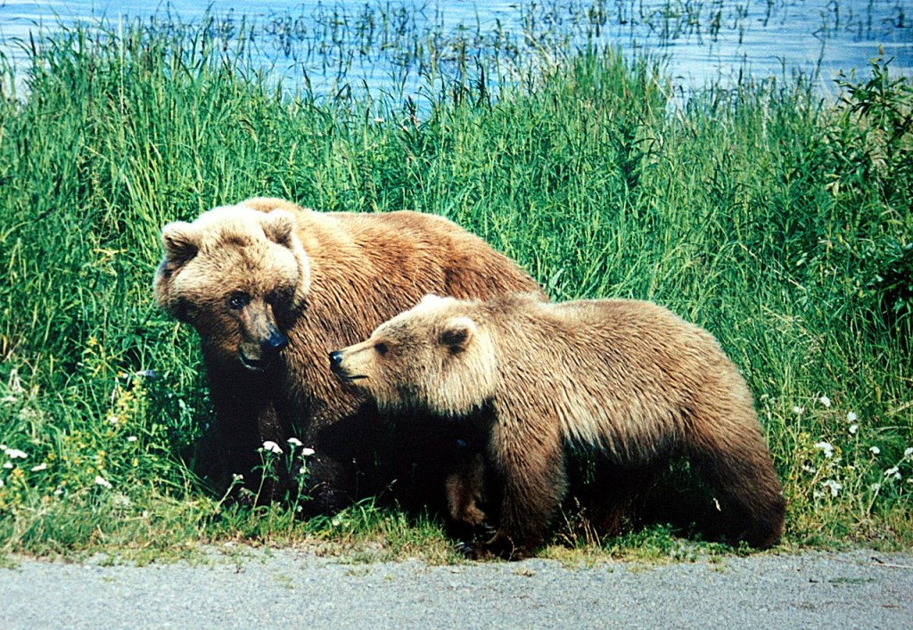 Grizzly Bear - will attack to defend its cubs