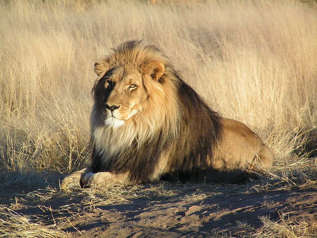 African Lion - some have been recorded as man-eaters