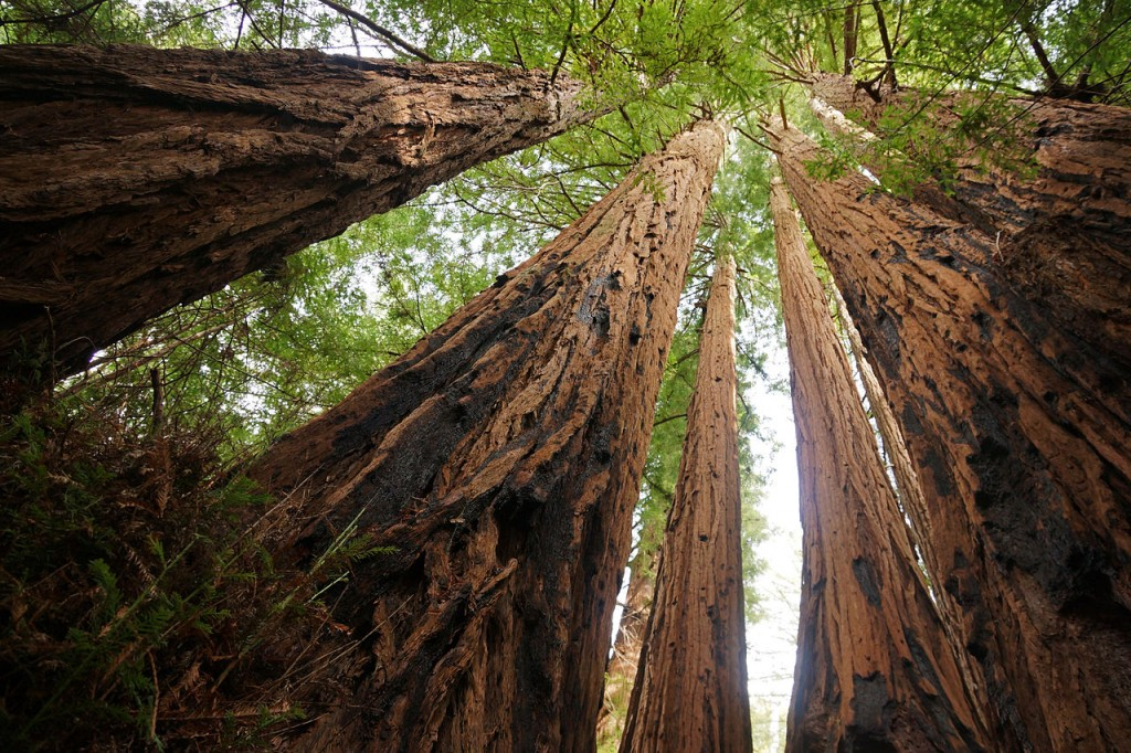 Redwoods forests, California, United States