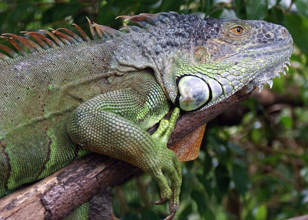 Coolest Lizards In The World: Green Iguana