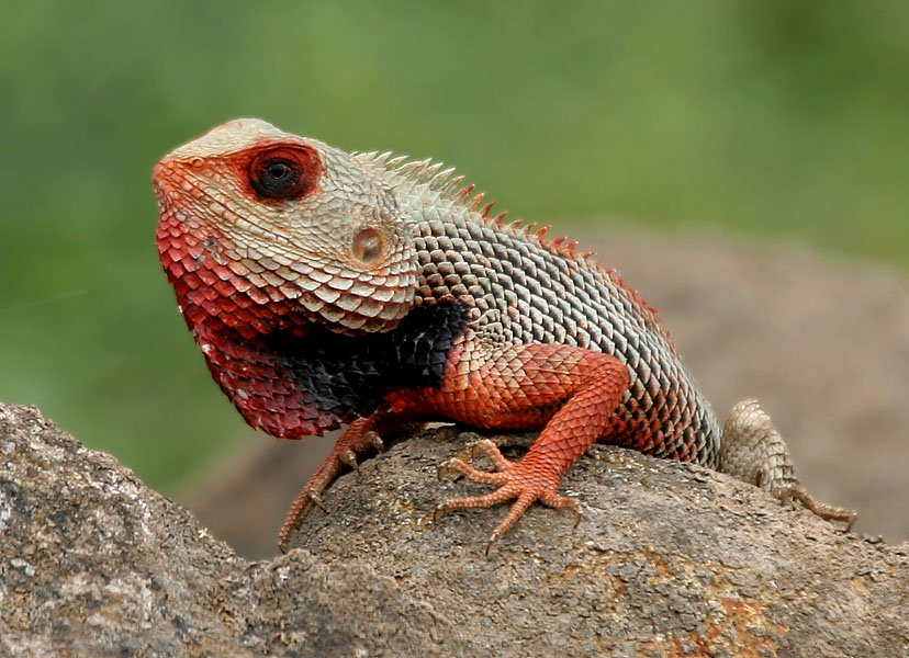 Coolest Lizards In The World: Oriental Garden Lizard