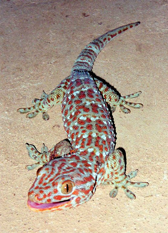 Coolest Lizards In The World: Tokay Gecko