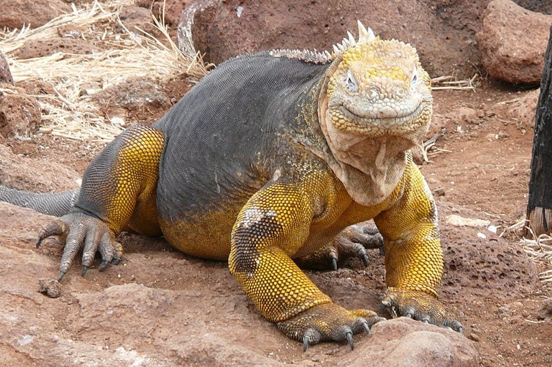 Amazing Natural World Heritage Sites: Galapagos Islands. The Galapagos Land Iguana
