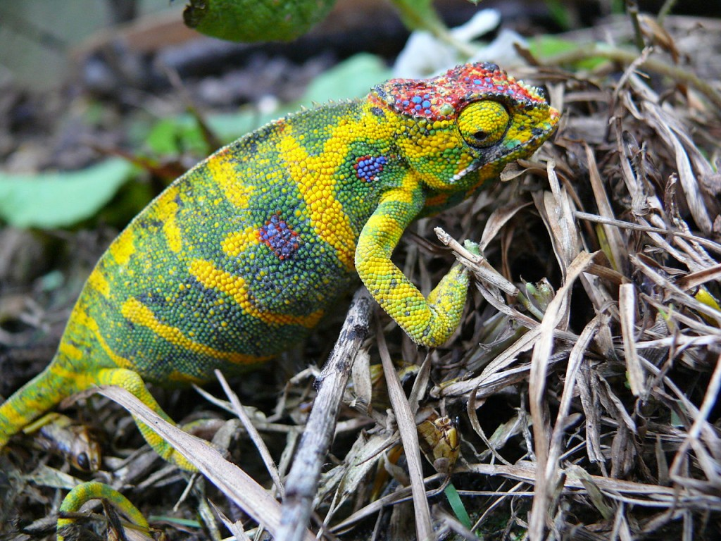 Coolest Lizards In The World: Lesser Chameleon