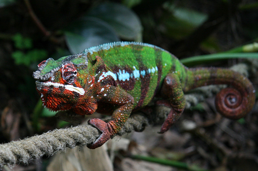 Coolest Lizards In The World: Panther Chameleon