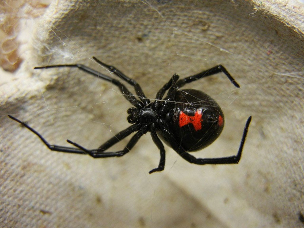 Coolest spiders: Black Widow