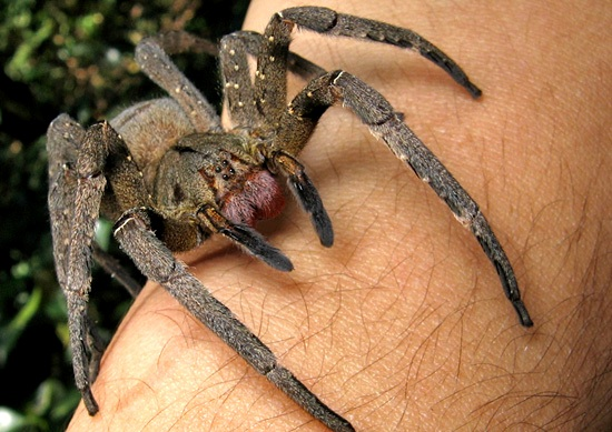 Coolest Spiders: Brazilian wandering spider