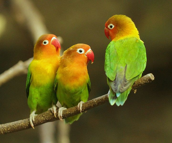 Coolest Parrots In The World: Fischer's Lovebird
