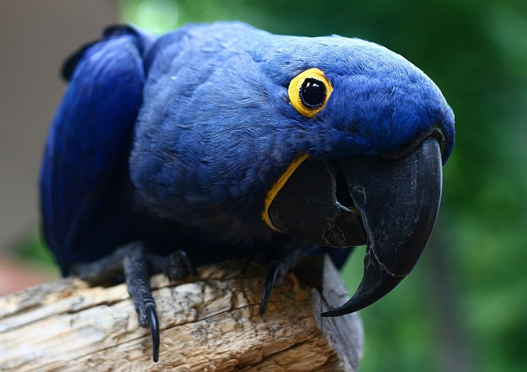 Coolest Parrots In The World:Hyacinth Macaw