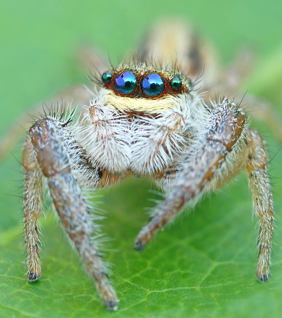 Coolest Spiders: Jumping Spider