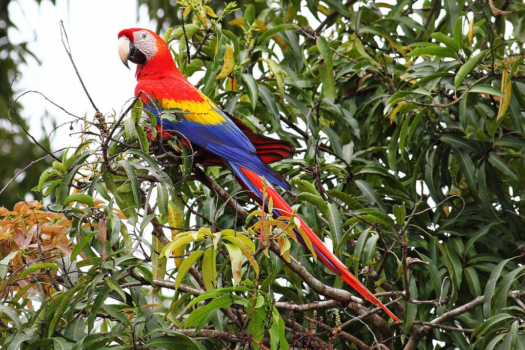 Coolest Parrots In The World: Scarlet Macaw
