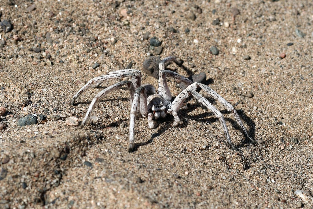 Coolest Spiders: Wheel Spider