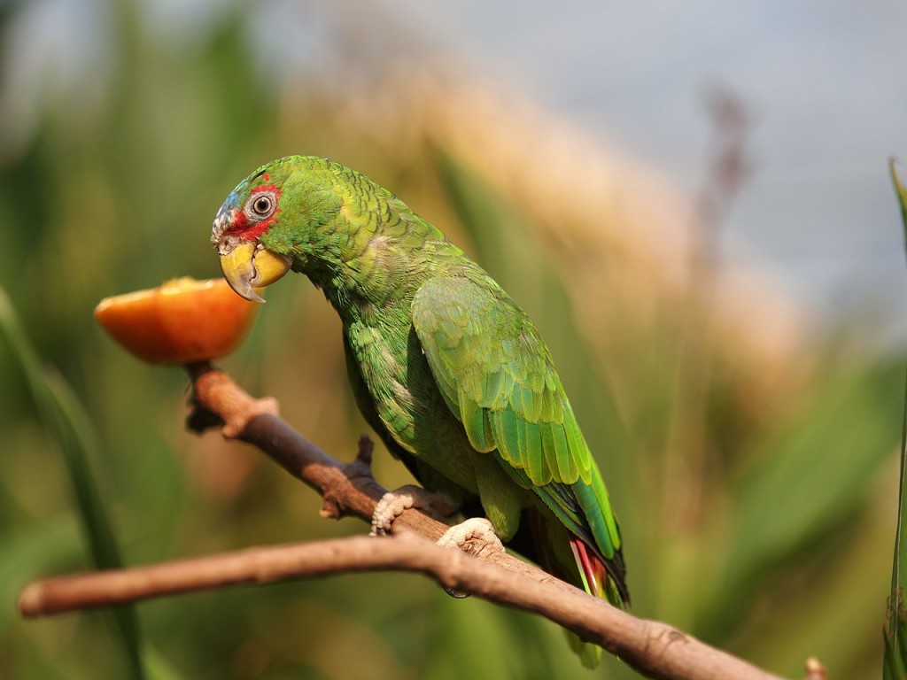 Coolest Parrots In The World: White Fronted Amazon