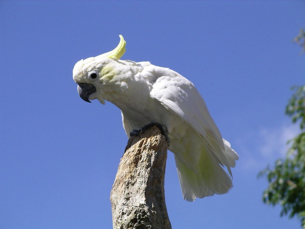 Coolest Parrots In The World: Yellow Crested Cockatoo