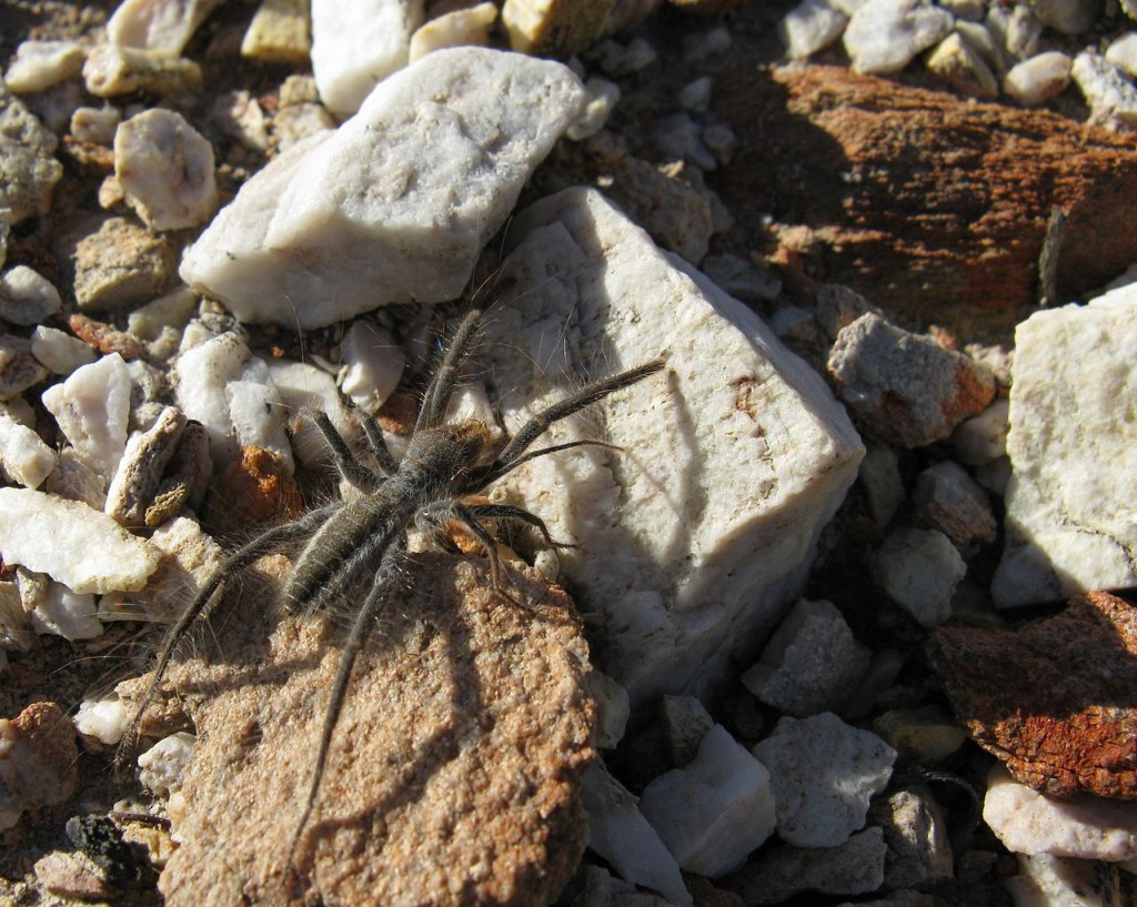Coolest Spiders: Camel Spider