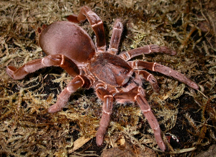 Coolest Spiders: King Baboon Spider