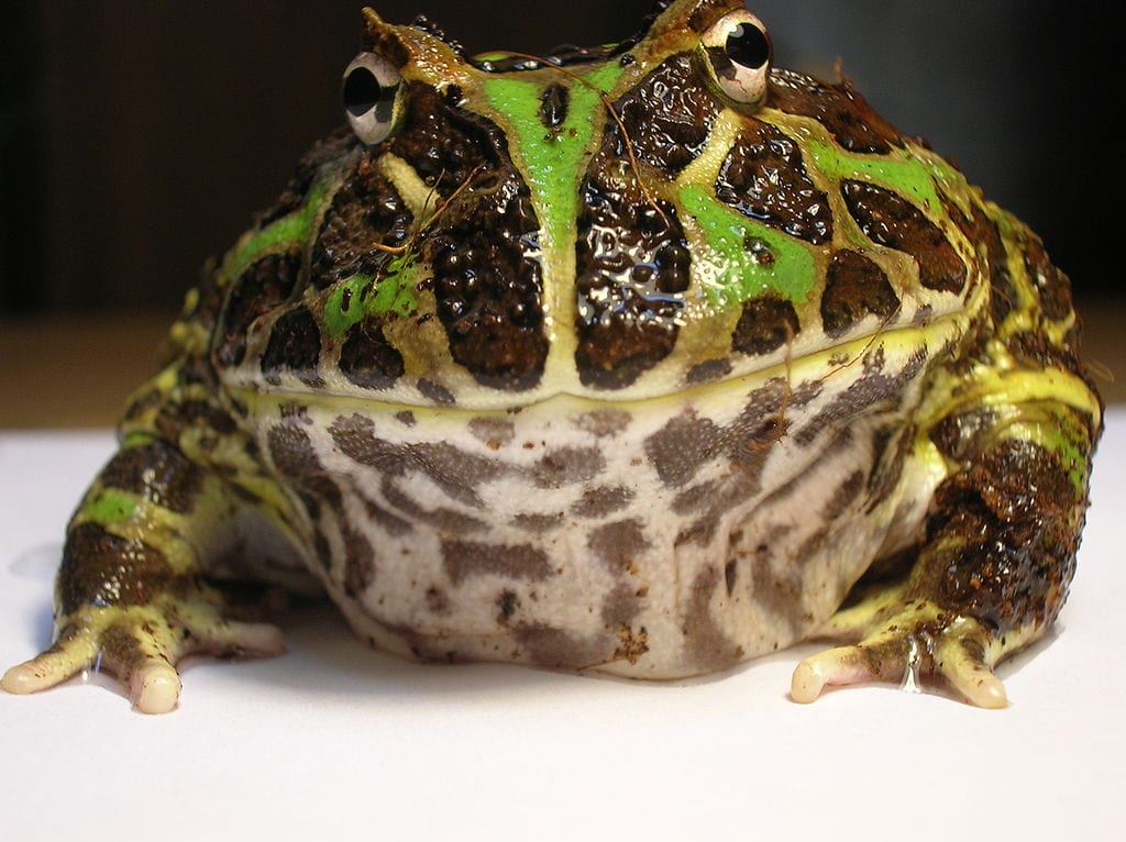 Coolest Frogs In The World: Pacman Frog