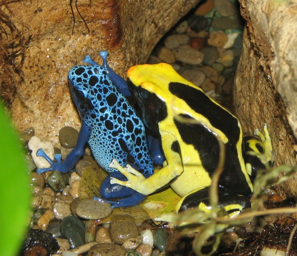 Coolest Frogs In The World: Poison Dart Frog