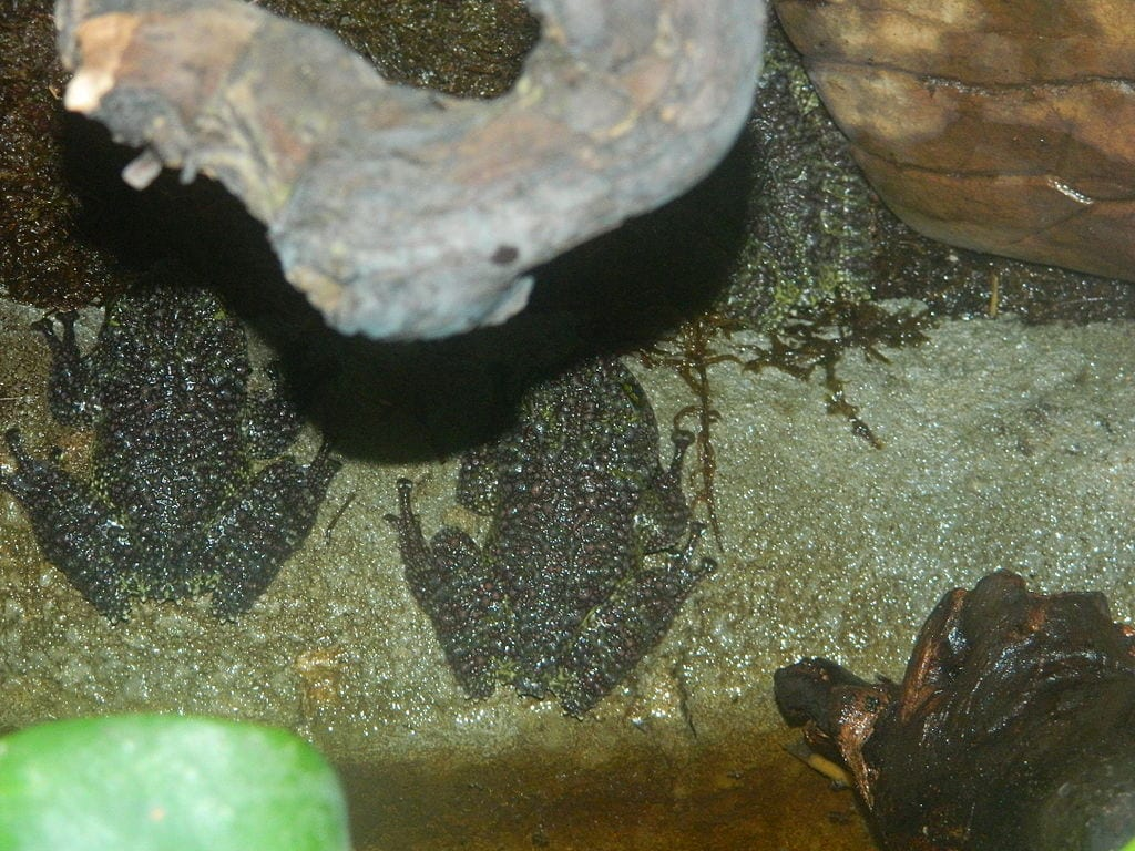 Coolest Frogs In The World: Vietnamese Mossy Frog
