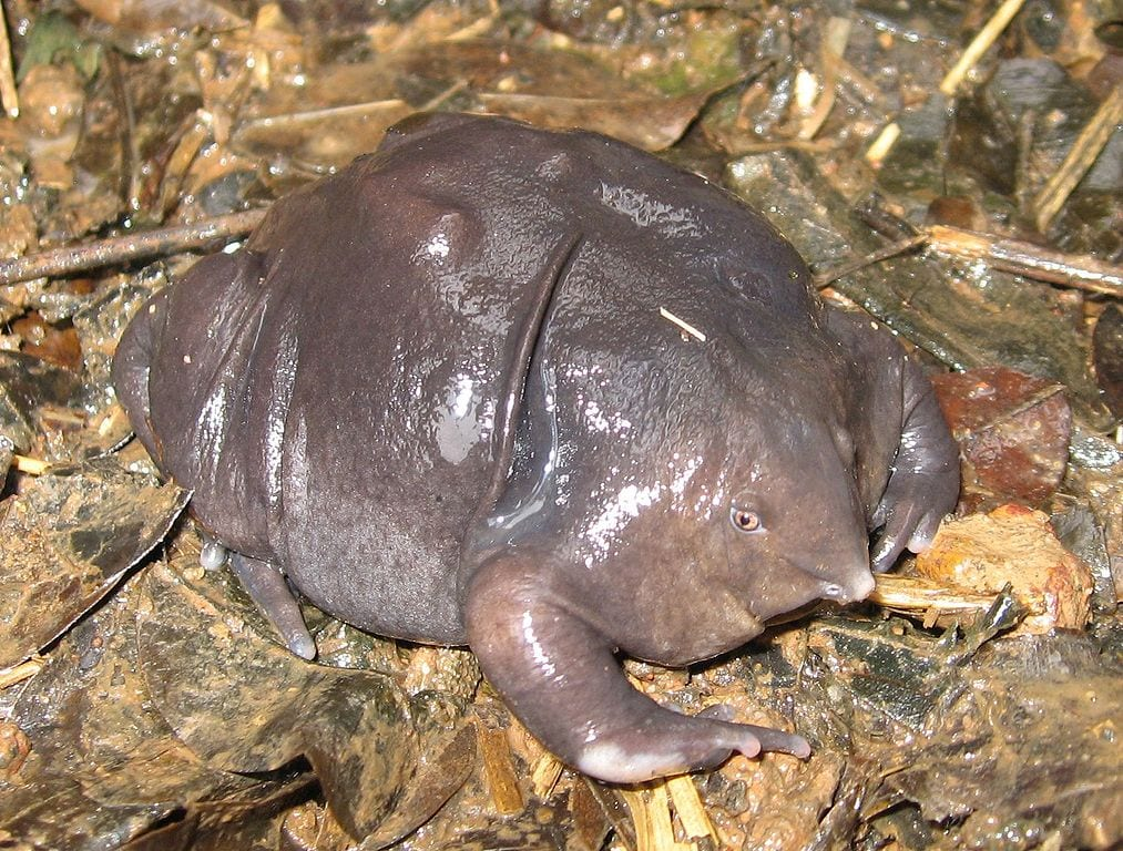 Coolest Frogs In The World: Purple Frog