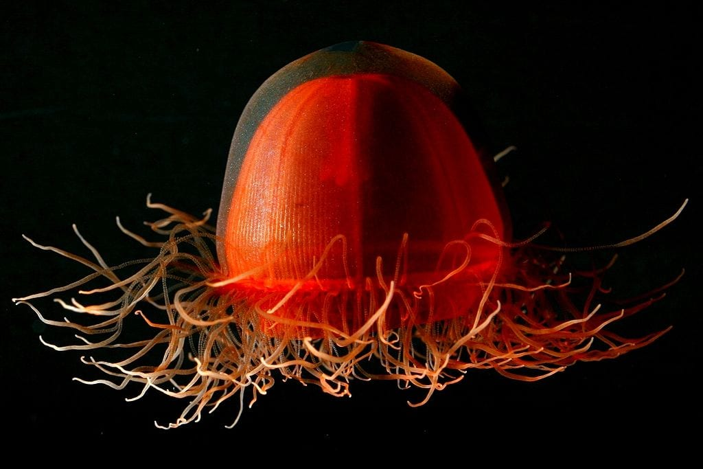 Most Beautiful Jellyfish In The World: Crossota Sp