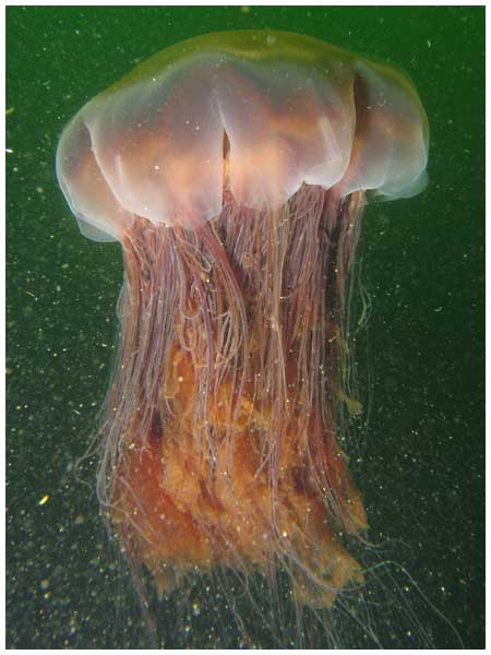 Most Beautiful Jellyfish