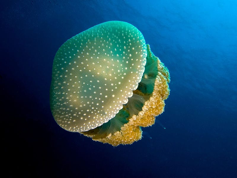 Most Beautiful Jellyfish In The World: White Spotted Jellyfish