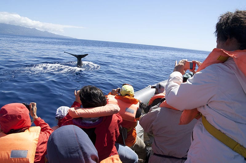 A Whale watching cruise in the Azores