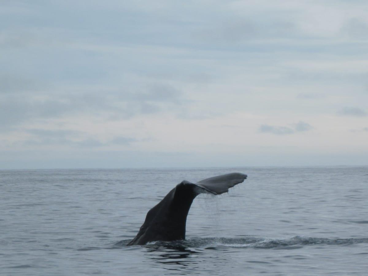 The fluke of a Humpback, Kaikoura, South Island