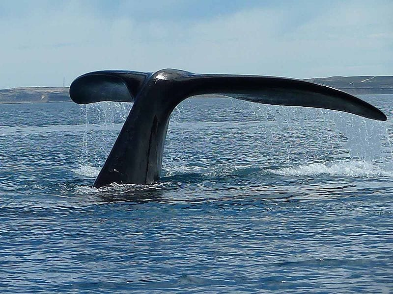 The Fluke of a Southern Right Whale in Valdes peninsula, Argentina