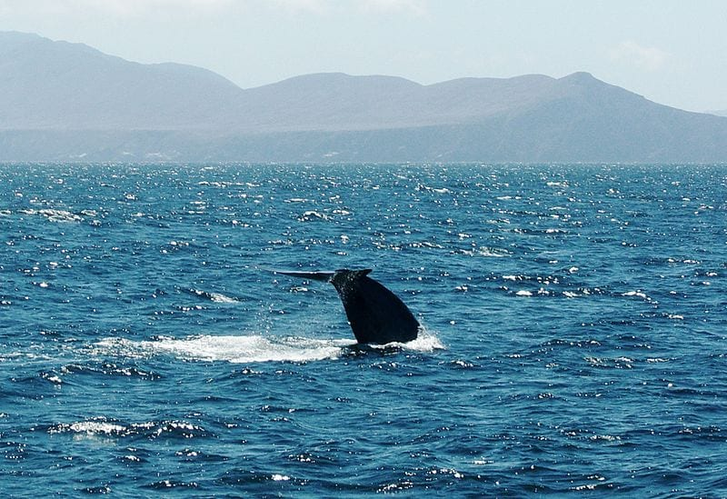 A blue whale fluke at the Santa Barbara Channel