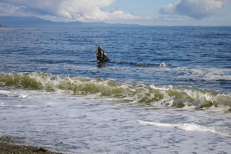 Gray whale at Vancouver Island, British Columbia, Canada