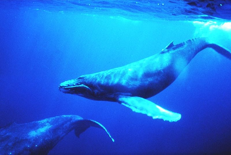 Best Whale Watching Locations: A Humback whale in Hawaii